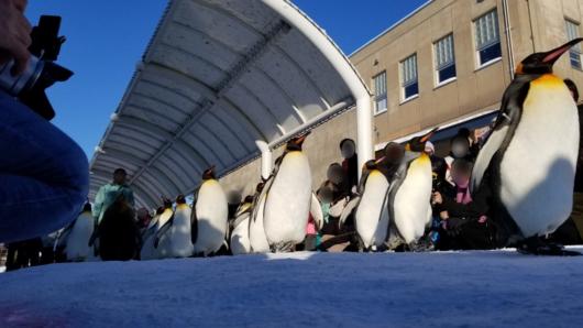 旭山動物園のペンギンのお散歩。